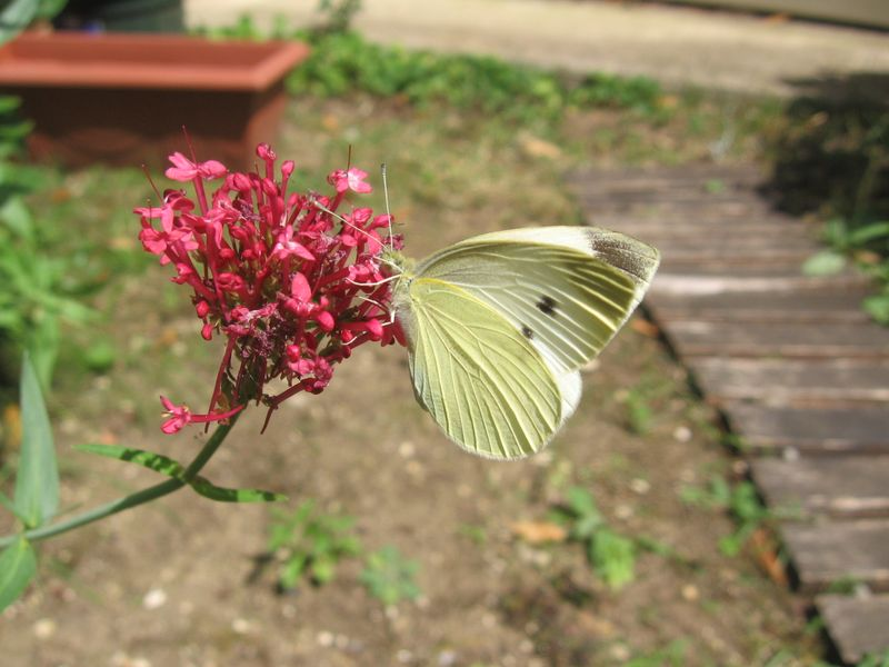 20090725 021 Cergy Papillon